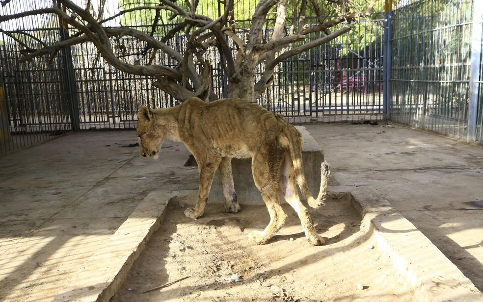 Leões desnutridos e doentes são vistos em jaulas no parque Al-Qureshi, em Cartum, no Sudão, no domingo (19). Uma campanha online foi lançada para salvar os animais — Foto: Ashraf Shazly/AFP
