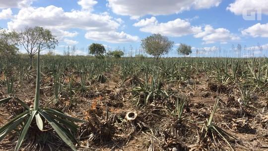 Seca transforma polo mundial de sisal em 'cemitério verde': 'Tudo morrendo'
