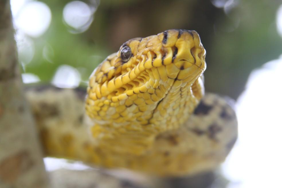 A coloração amarela é bem característica para o reconhecimento da espécie, que não possuí peçonha. — Foto: Bruno Rocha/Arquivo Pessoal