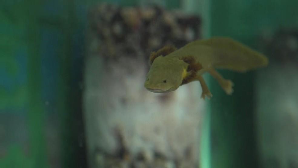 Axolote (Foto: Reprodução/BBC)