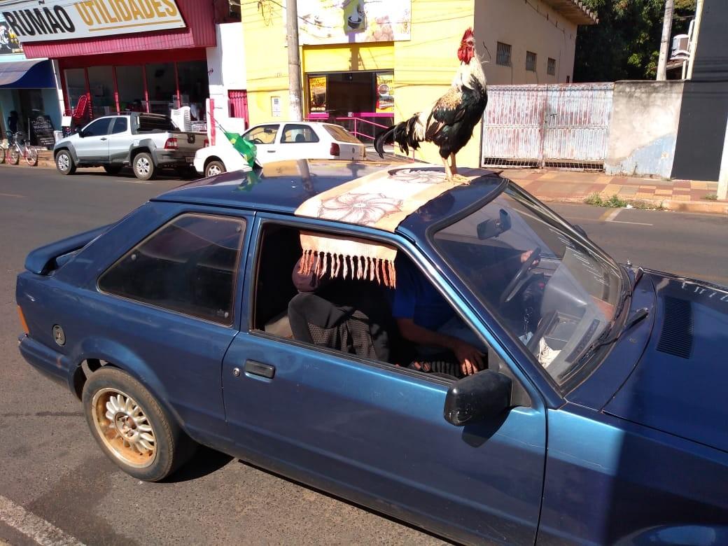 Galo vira atração ao passear no teto de carro no interior de SP: 'É um filho que tenho', diz dono