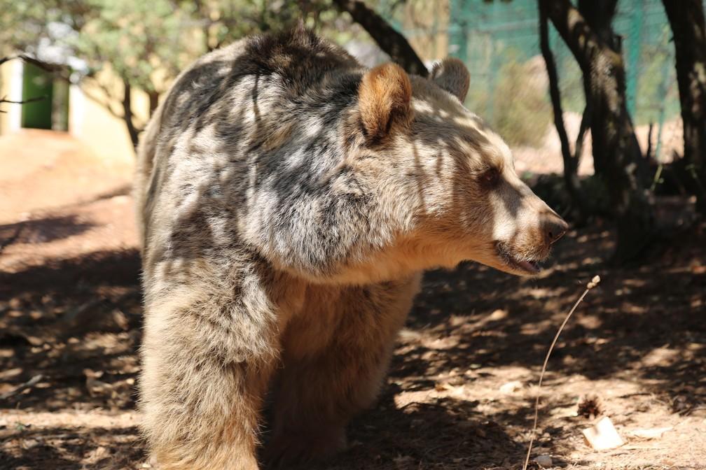 lula o urso - Animais traumatizados por guerras encontram a paz em reserva na Jordânia