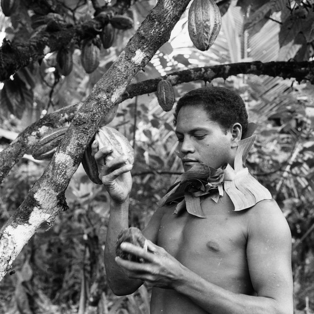 circa 1955:  A man picking pods containing cocoa beans from a cacao tree in Western Samoa.  (Photo by John Titchen/Three Lions/Getty Images) (Foto: Getty Images)