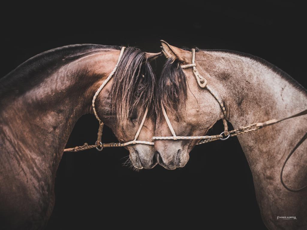 Documentário revela bastidores da criação de cavalos crioulos na Europa - Notícias - Plantão Diário