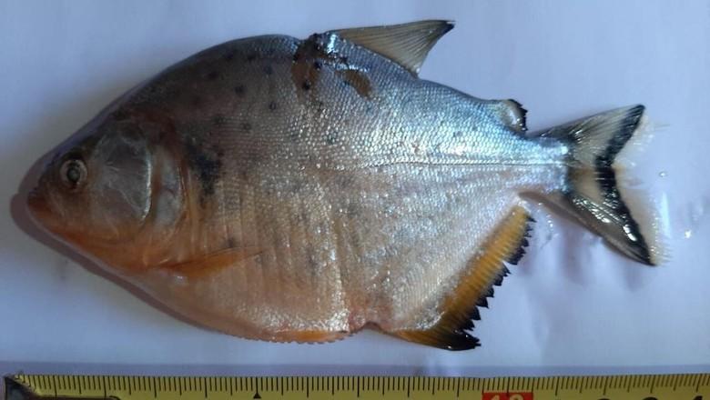 Foto mostra o tamanho de piranha que apareceu no RS. Segundo biólogos, ela pode chegar a 34 cm (Foto: Maria Luísa Krever Conzatti/Divulgação)