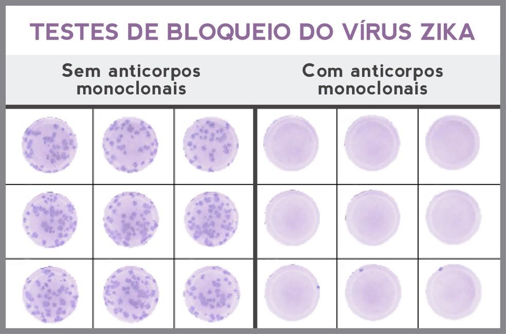 Nas placas à esquerda foram adicionados soro de macaco, que não recebeu os anticorpos, e o vírus Zika. O patógeno se multiplicou, seguindo o curso natural da infecção. Nas placas à direita, nas quais havia soro de macaco com anticorpos, o vírus Zika não foi capaz de se replicar.  (Foto: IOC/Fiocruz)
