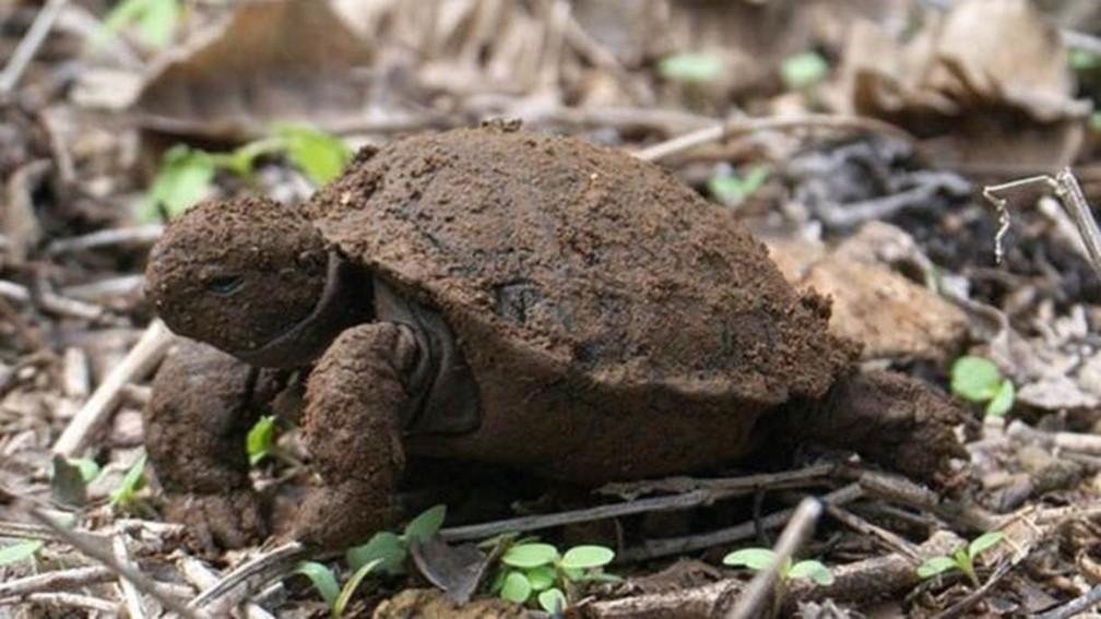 O projeto pretende monitorar as pequenas tartarugas para saber como elas fazem para sobreviver (Foto: Galapagos Tortoise Movement Ecology Program)
