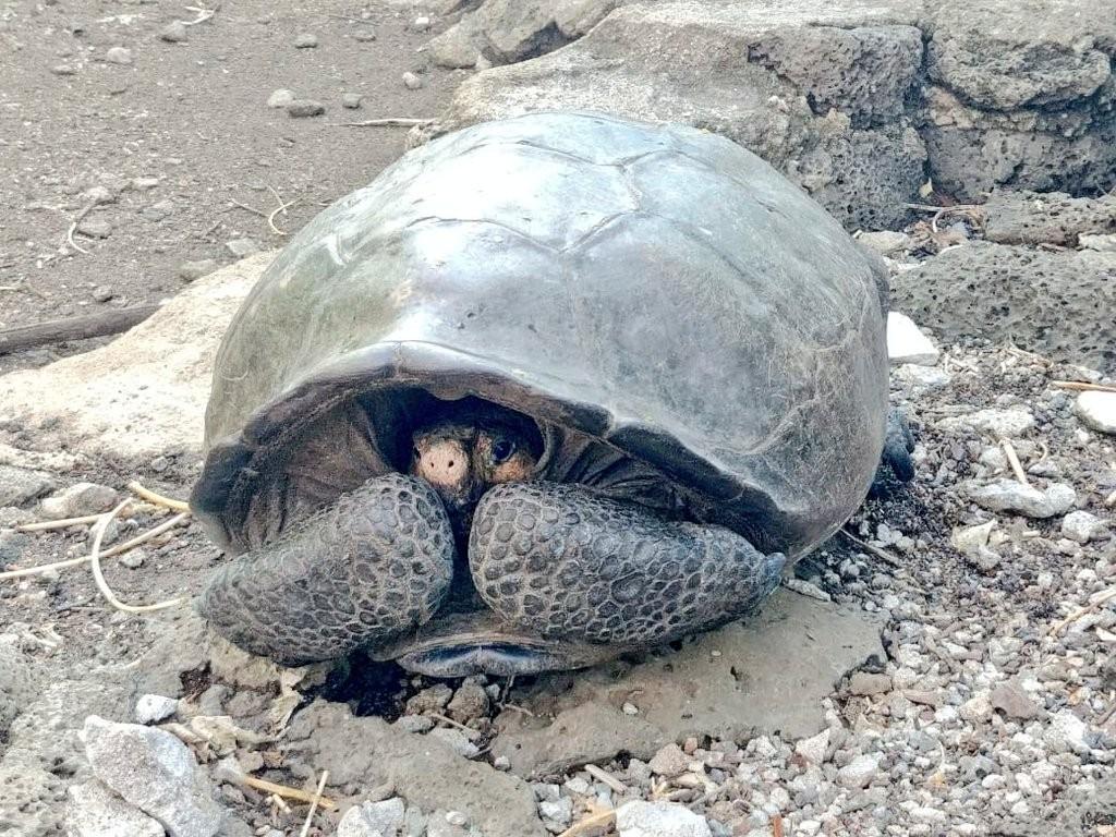 Tartaruga da espécie Chelonoidis phantasticus achada em Galápagos (Foto: Reprodução/Twitter Marcelo Mata)