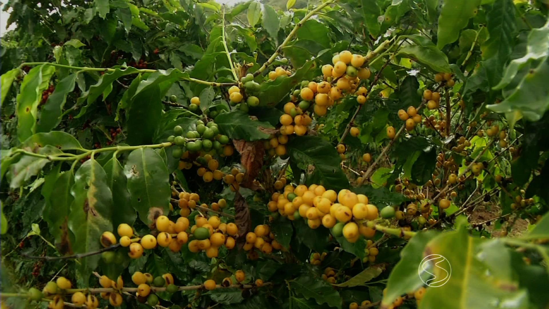 Exportação de café verde do país cresce 25,9% em novembro, diz Cecafé - Noticias