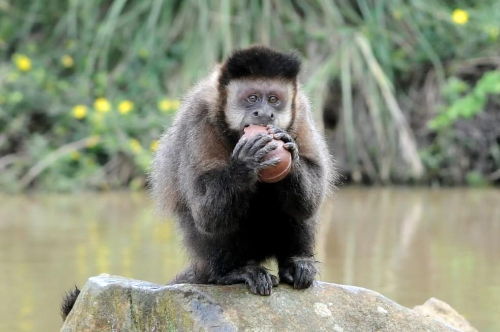 Macacos ajudam a dispersar sementes — Foto: Gramazoo/Divulgação