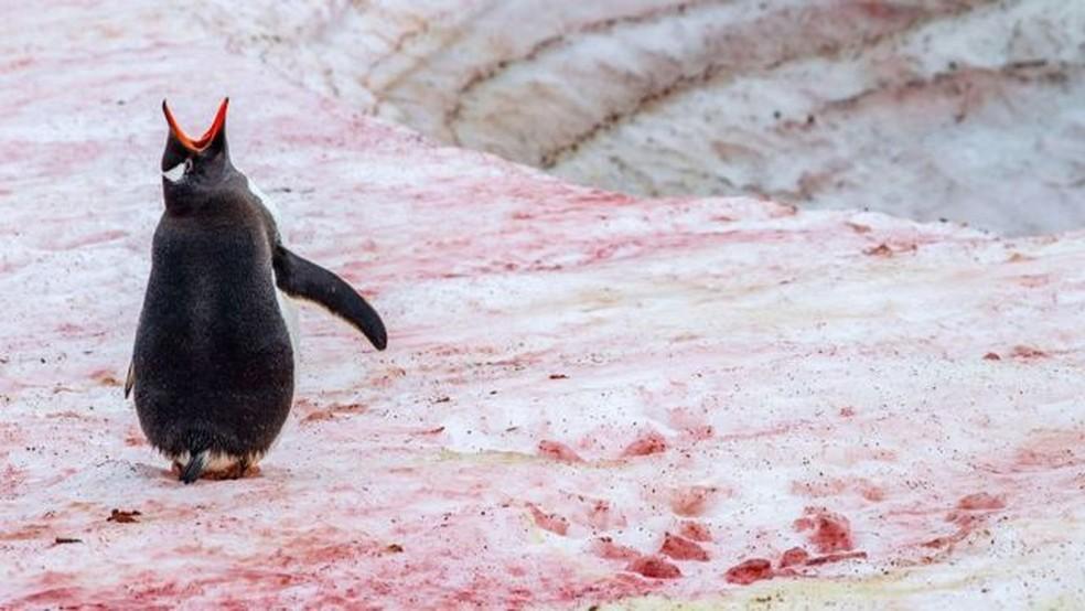 Algas que crescem próximo a colônias de pinguins perto da Antártida produzem um pigmento vermelho vivo — Foto: ROBERT HARDING/ALAMY