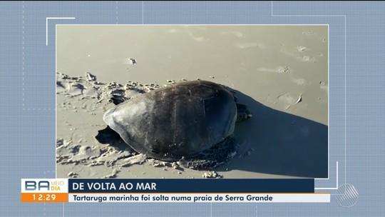 Tartaruga de 25 anos volta ao mar na BA após passar 10 dias em tratamento por causa de encalhe