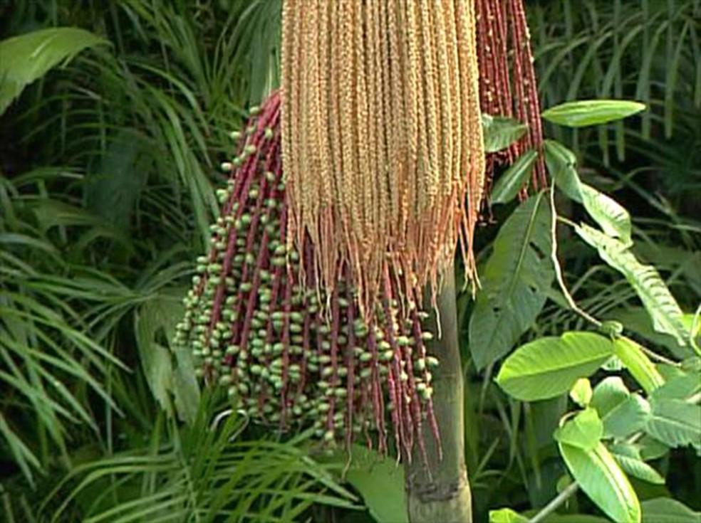 Essa palmeira atinge até 20 metros de altura e é típica da região amazônica — Foto: Arquivo TG