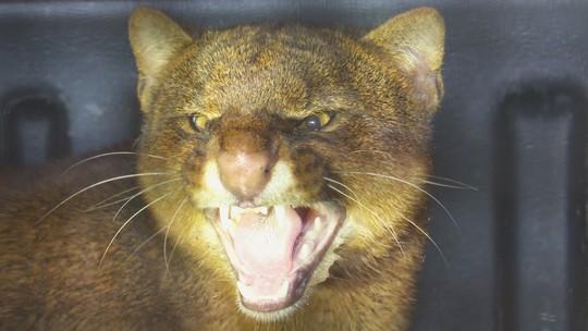 Felino da família Puma é resgatado em prédio de Rondônia; fotos