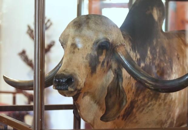 Krishna pertence à raça Gir, desenvolvida na Índia ao longo de vários séculos (Foto: BBC News Brasil)