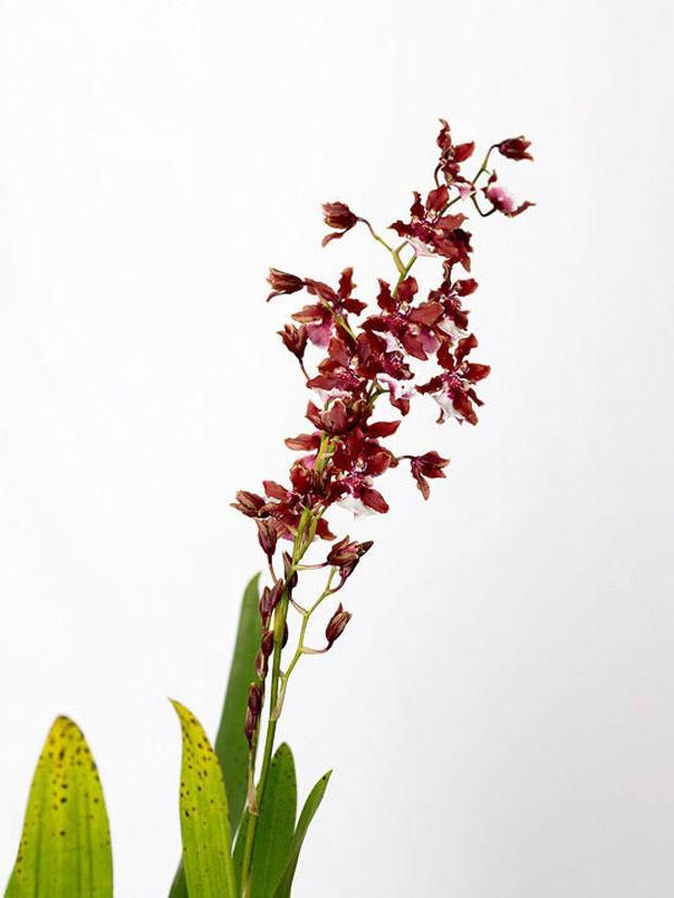 Cinco orquídeas que florescem no inverno para ter em casa (Foto: Divulgação)