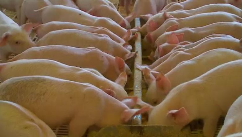 tv-porco-suino-produção-carne-suina-rio-grande-do-sul  (Foto: Reprodução)