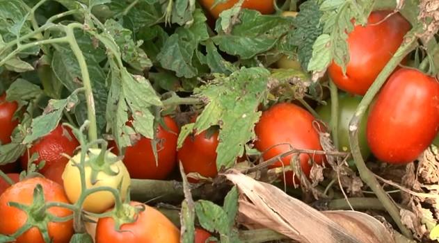 Guarapuava é responsável por 5% da produção de tomate no Paraná