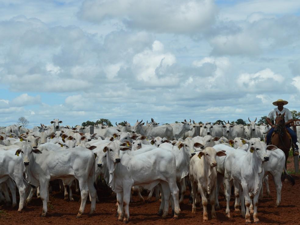 Apesar da redução da área de pastagens, MS continua tendo o terceiro maior rebanho bovino do país e o município com a maior quantidade de animais, Corumbá (Foto: Anderson Viegas/G1 MS)