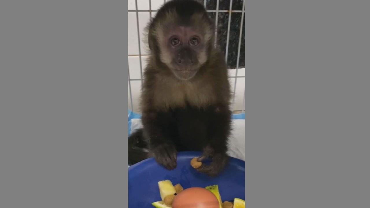 Filhote de macaca que vivia no Bosque Central de Londrina é capturado