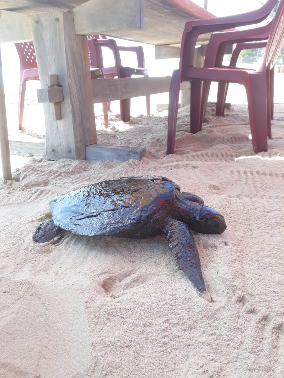 Tartaruga foi encontrada com vida em Sagi, RN, mas não resistiu à contaminação pelo óleo e morreu — Foto: Projeto Cetáceos da Costa Branca