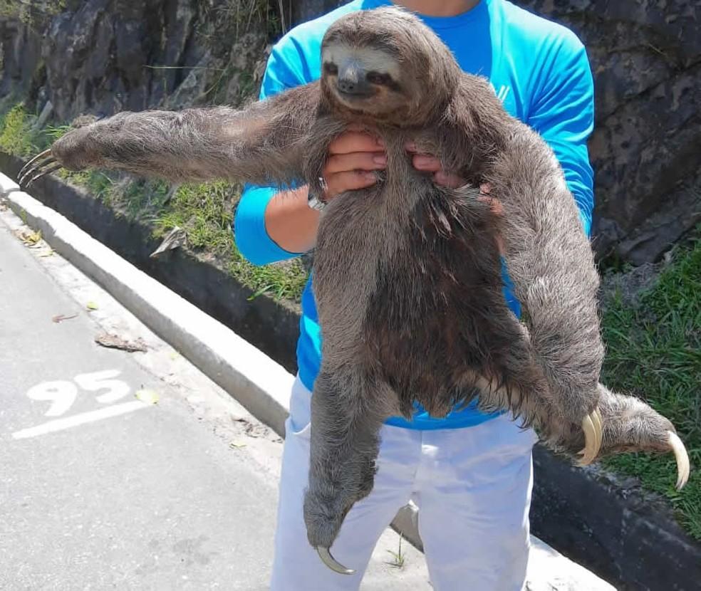 Bicho-preguiça foi resgatado na BR-101, em Angra dos Reis — Foto: Reprodução/Redes Sociais