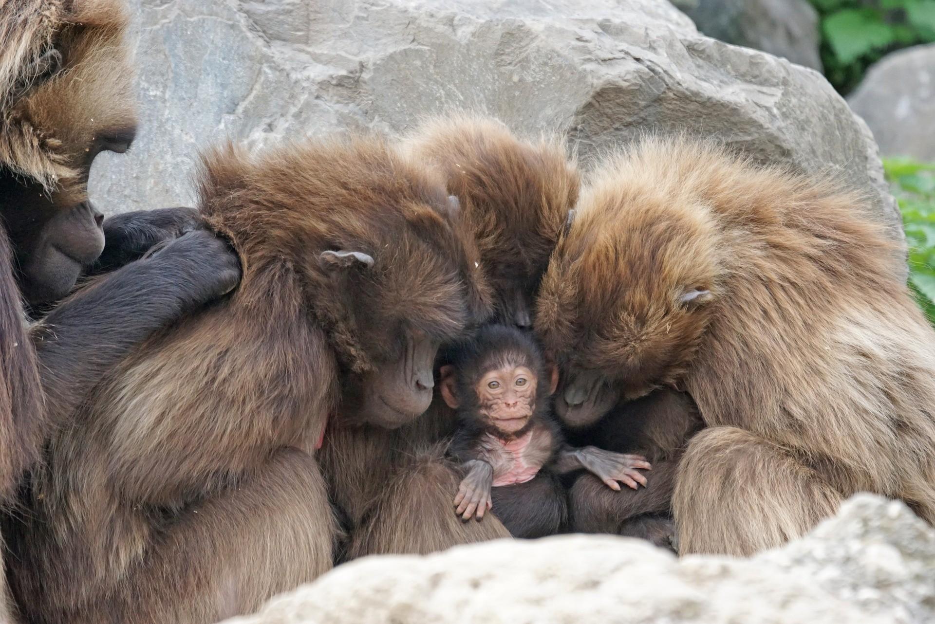 60% dos primatas do planeta estão ameaçados de extinção.  (Foto: Pixel-mixer  / Creative Commons)