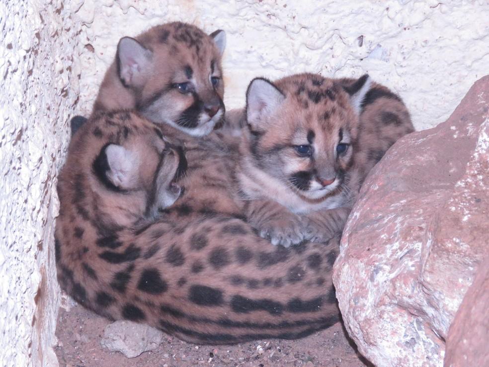Os três filhotes ainda não têm nome, o Zoobotânico lançou campanha para população fazer sugestões (Foto: Divulgação / Zoobotânico de Teresina)