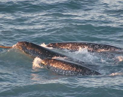 Cientistas fazem rara gravação dos sons de baleias narvais; ouça