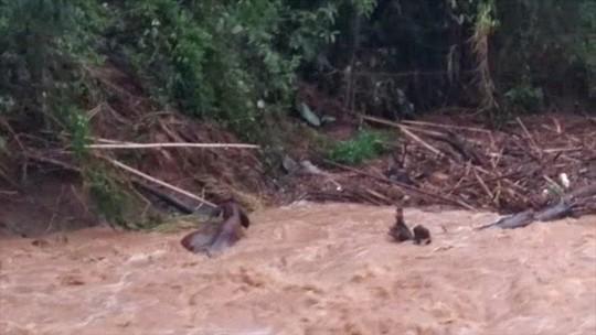 Gado é arrastado por correnteza após forte chuva em Lavrinhas