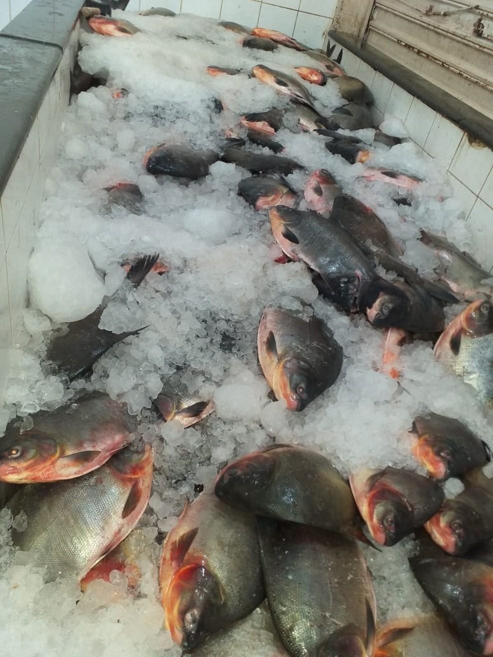Mais de 3,5 toneladas de peixes foram apreendidas. — Foto: Polícia Civil-MT/Assessoria