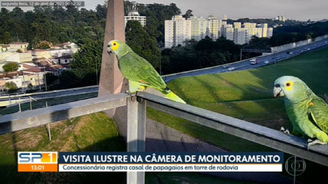 Câmera registra papagaios na rodovia dos Bandeirantes