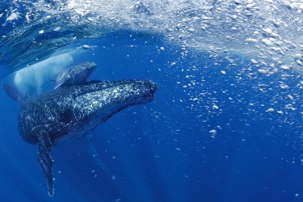 População de baleias jubartes que buscam a costa brasileira para a reprodução aumenta a cada ano: refúgio precisa ser protegido (Foto: Luciano Candisani)