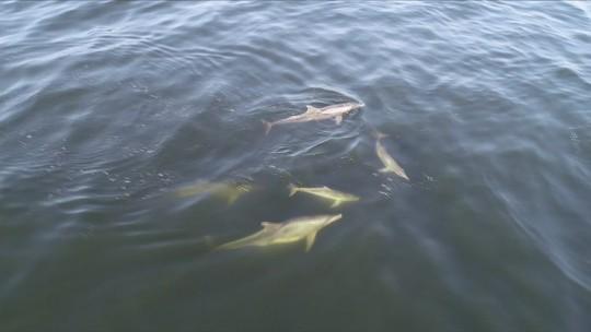 Golfinhos aparecem nadando nas águas da Baía de Guanabara