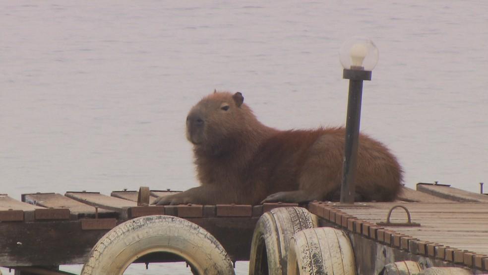 Capivara 'descansa' em deque no Lago Paranoá (Foto: Reprodução/TV Globo)