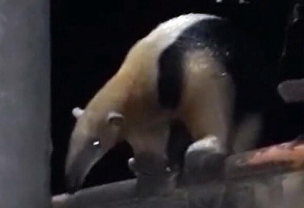 Tamanduá aparece em casa em Queimados — Foto: Reprodução