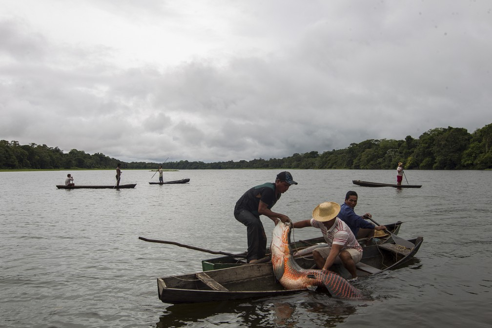 Manejo de pirarucu no Amazonas. — Foto: Bruno Kelly/Divulgação