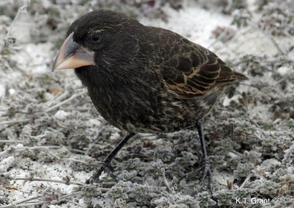 Pássaro da espécie Geospiza conirostris, a mesma do macho original que deu origem à nova população (Foto: P.R.Grant)
