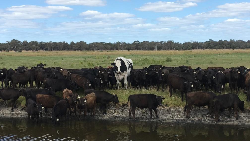 Knickers costuma ser seguido por rebanho de gado wagyu — Foto: Geoff Pearson