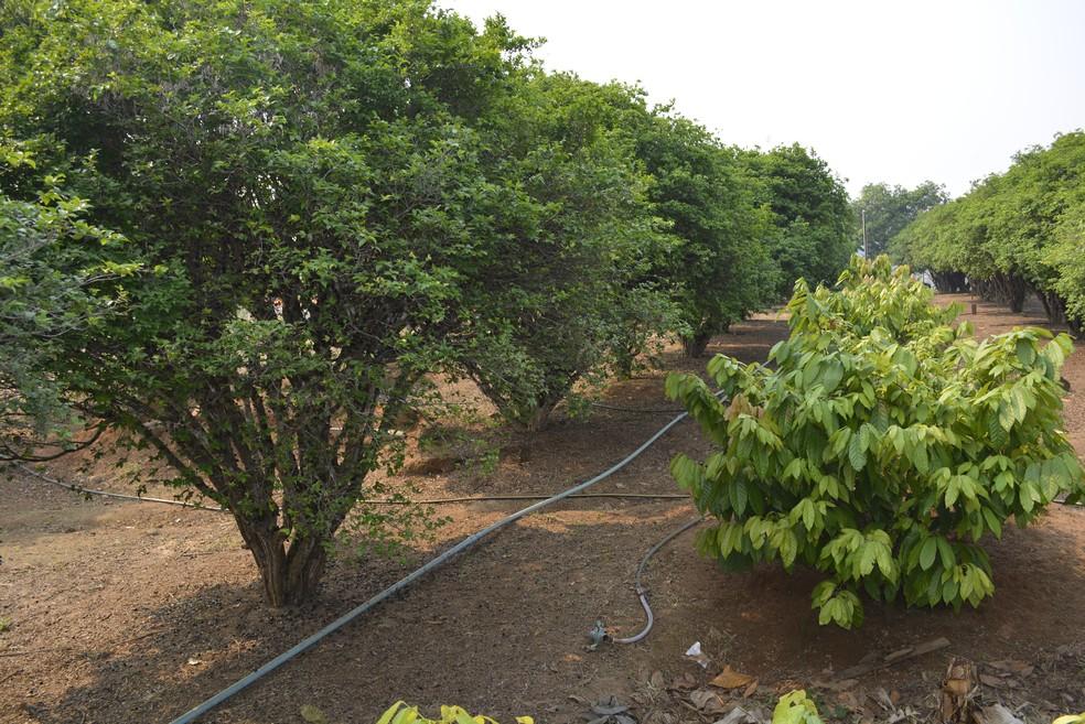 Plantação é irrigada e o agricultor diz que aprendeu na prática a melhor técnica para o cultivo (Foto: Jeferson Carlos/G1)