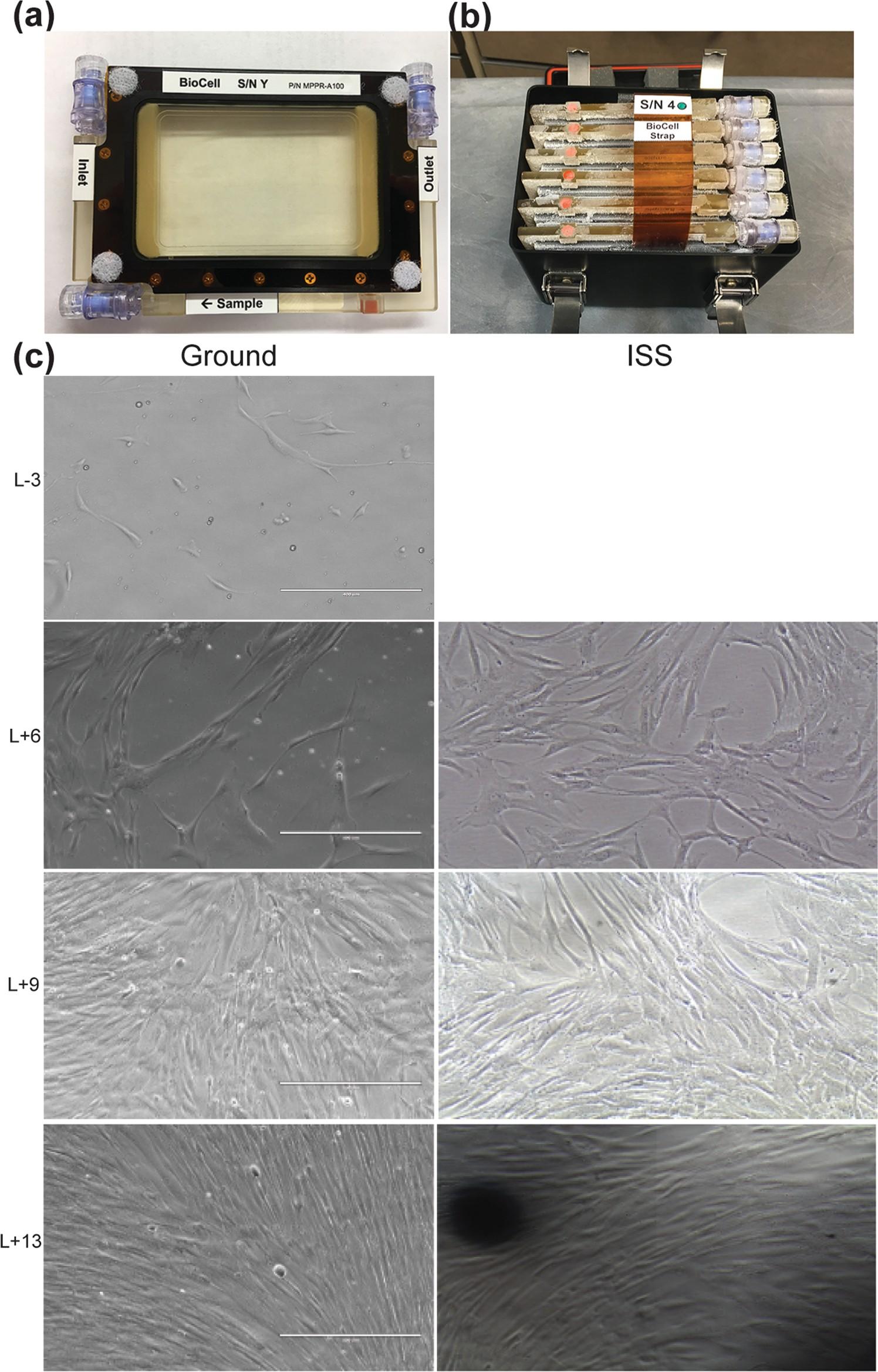 Culturas de células-tronco mesenquimais foram transportadas da Terra (a) para a ISS em um habitat específico (b). O crescimento celular foi registrado em tempo real na Terra e no espaço (c) (Foto: Reprodução/npj Microgravity)