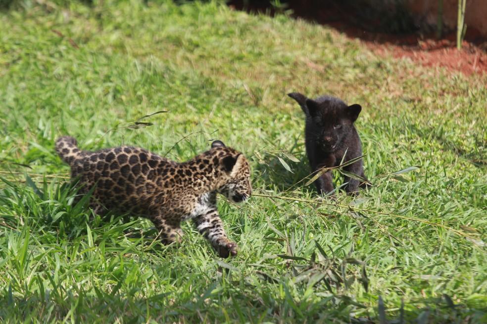 Filhotes de onça-pintada, que nasceram em cativeiro no Espírito Santo — Foto: Divulgação/ Zoo Park da Montanha