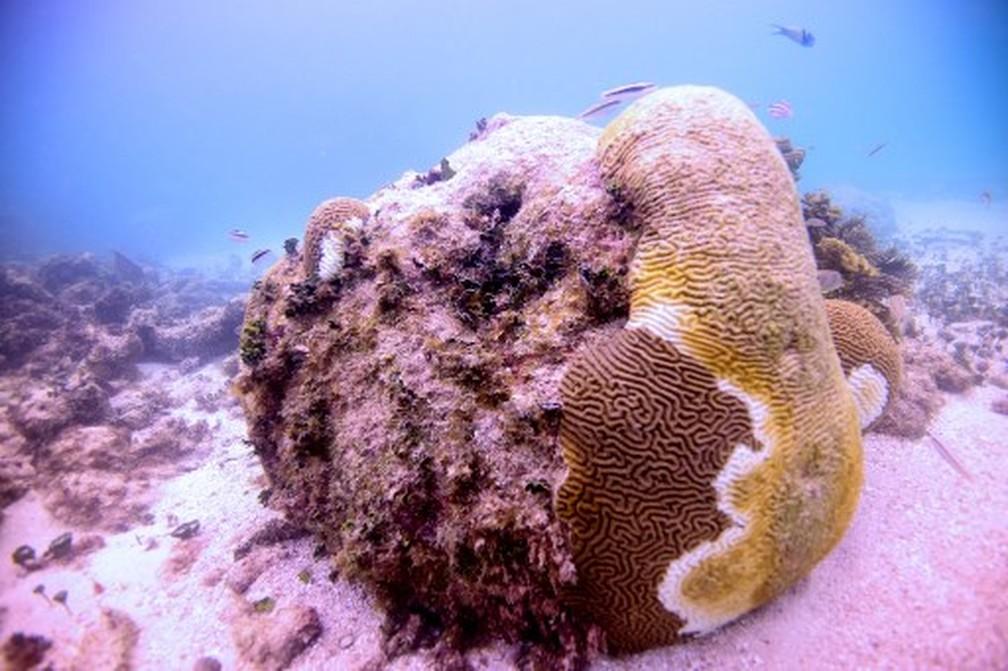 """'Síndrome branca"""" afeta recifes de corais no Caribe mexicano — Foto: Armando Gasse/Adaptur/AFP"""