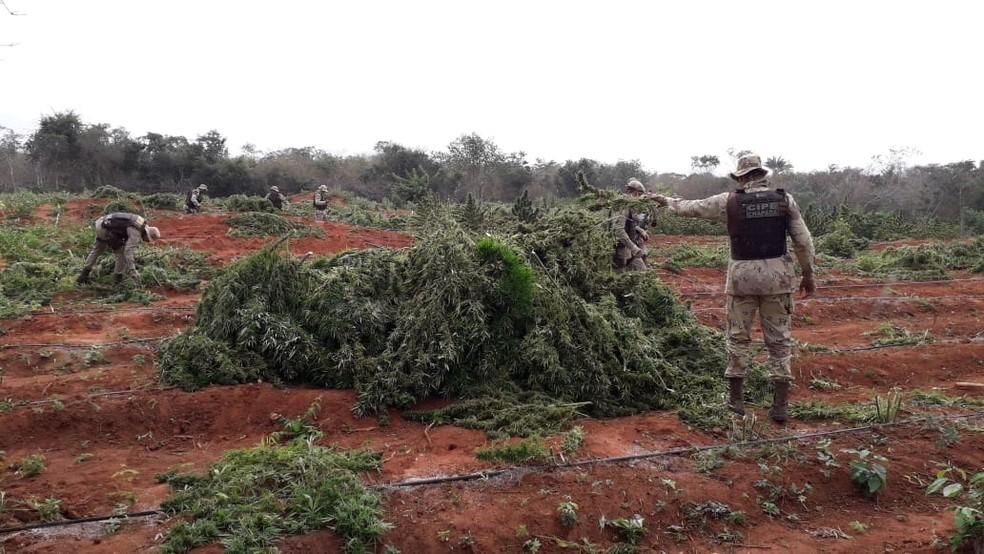 Plantação de maconha em Iraquara, na Bahia, encontrada pela polícia — Foto: Divulgação/SSP-BA