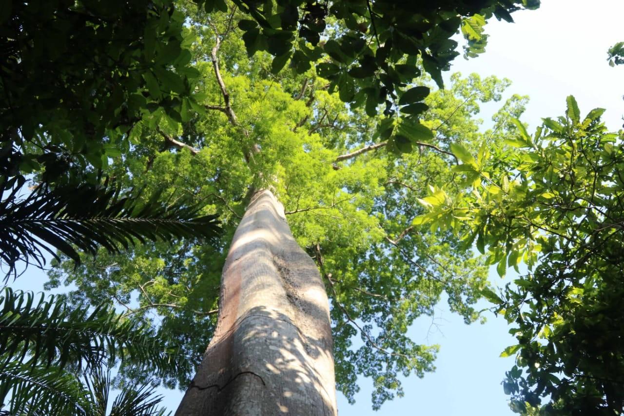 No Dia da Árvore, trilha que leva à árvore que dá nome ao Parque Estadual Sumaúma é reaberta em Manaus - Notícias - Plantão Diário