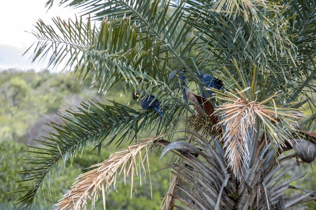 Arara-azul-de-lear em um licurizeiro, a palmeira que dá o licuri, um coquinho que cresce aos cachos nestas árvores. O alimento é a principal fonte de nutriente destas aves, mas a escassez provocada pela seca e desmatamento está levando as aves a atacarem milharais. — Foto: Marcelo Brandt/G1