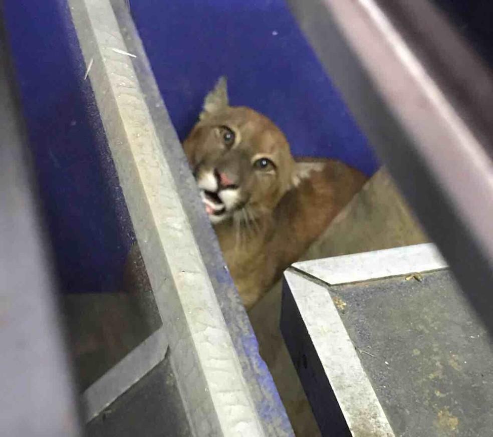Filhote de onça é encontrado dentro de loja de ferramentas em Atibaia, SP (Foto: Divulgação/Polícia Ambiental)