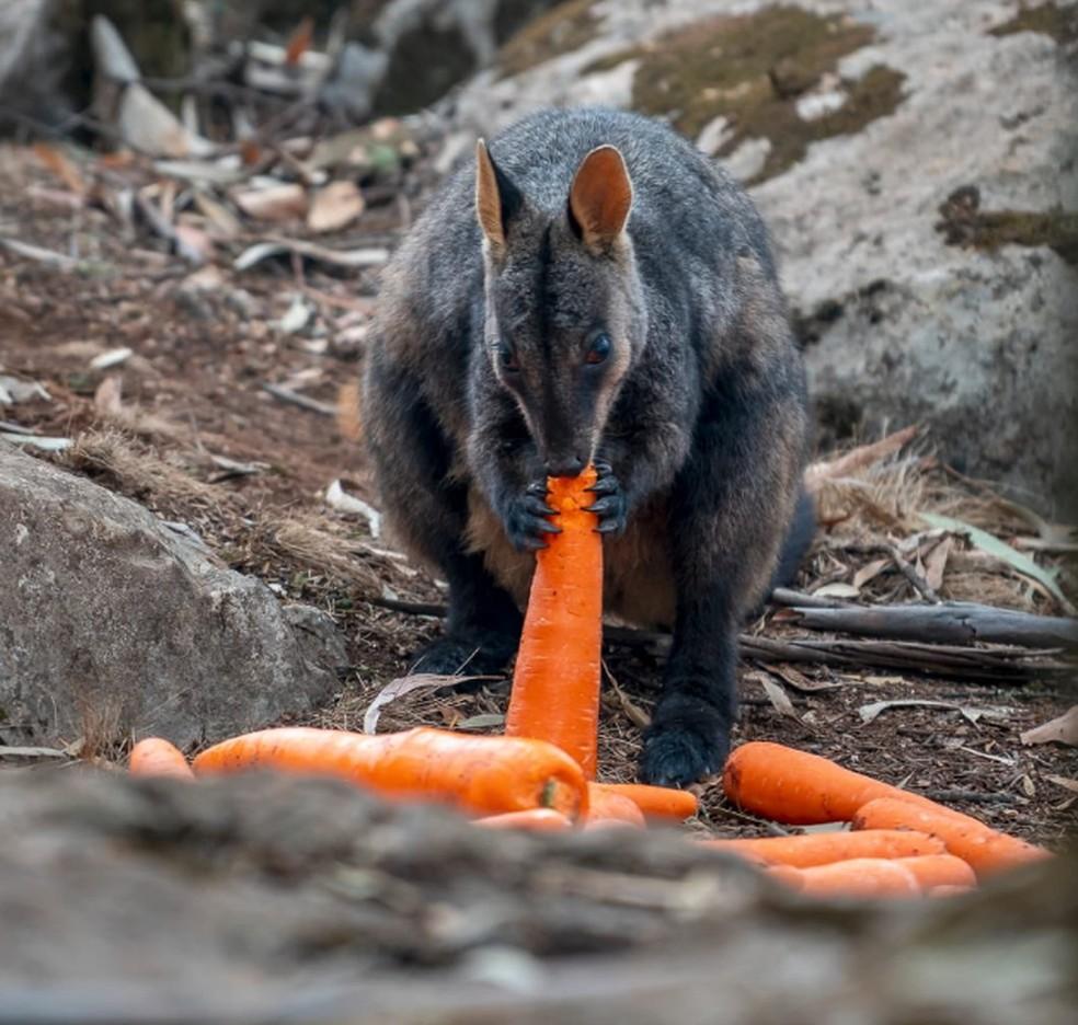 O número total de animais afetados na Austrália pode chegar a 1 bilhão — Foto: Reprodução Twitter