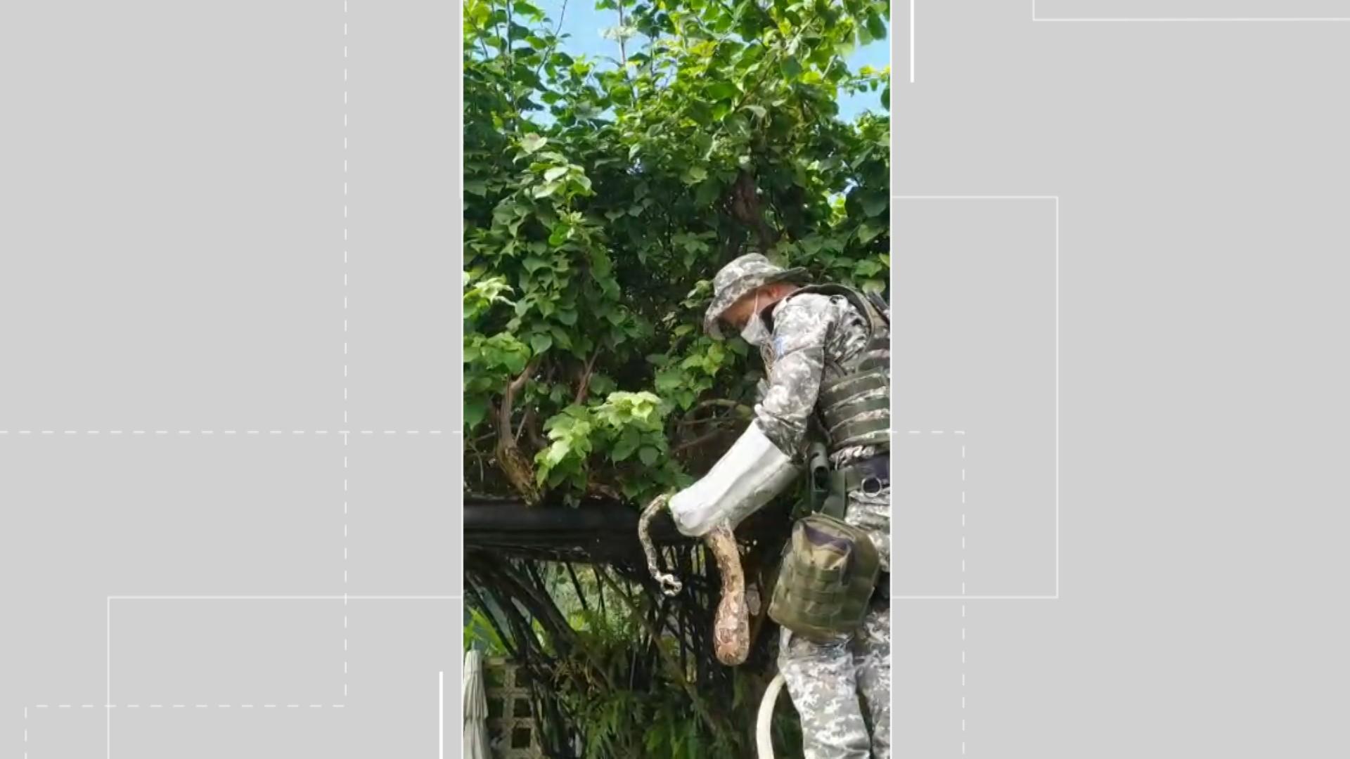 Jiboia é achada no bairro de Itapuã, em Salvador; 157 serpentes já foram resgatadas na capital esse ano