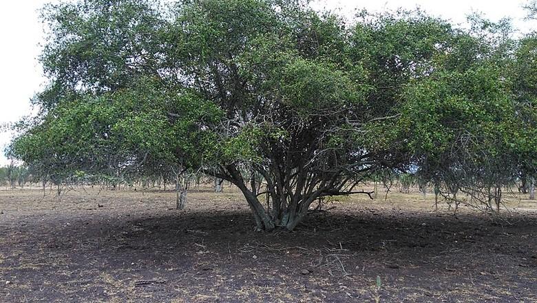 Sideroxylon Obtusifolium-quixabeira-jabuticaba-do-mato (Foto: Jonathas Ray M. C. Guimarães/Wikimedia Commons)